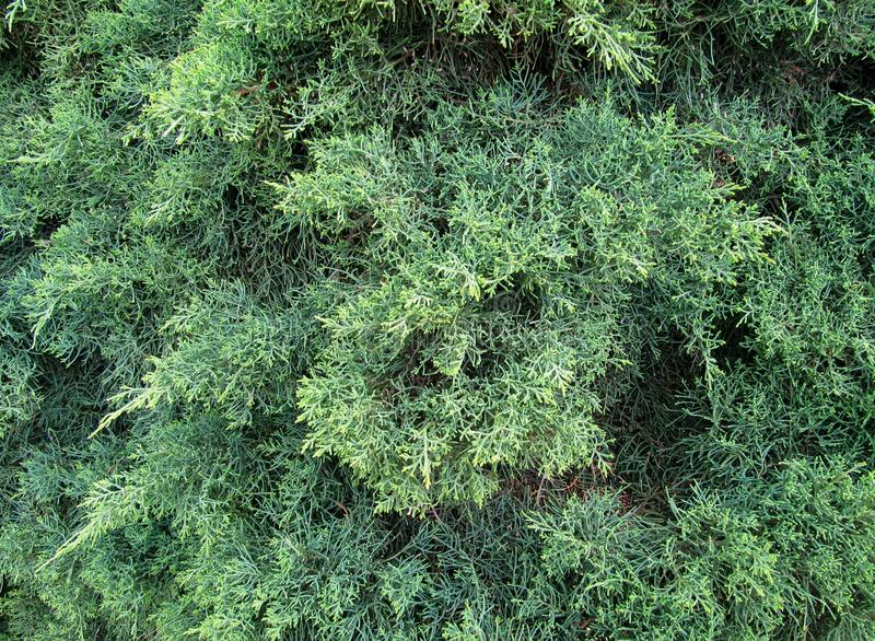 Green needles of the Cypress. Background. Green branches with needles of the Cypress tree in the wood. Homogeneous green background stock photo