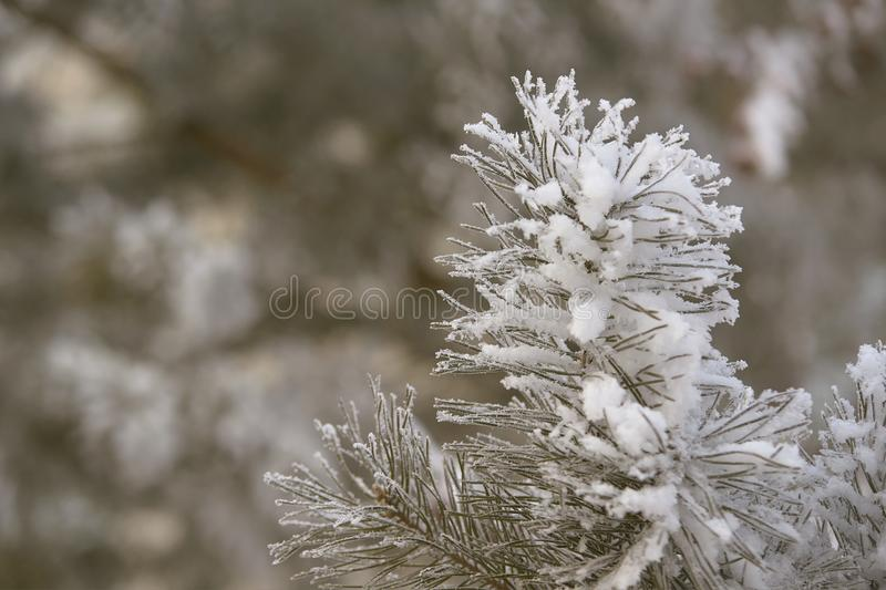 Green needles. Pine in snow. Snowy branch. Closeup royalty free stock images