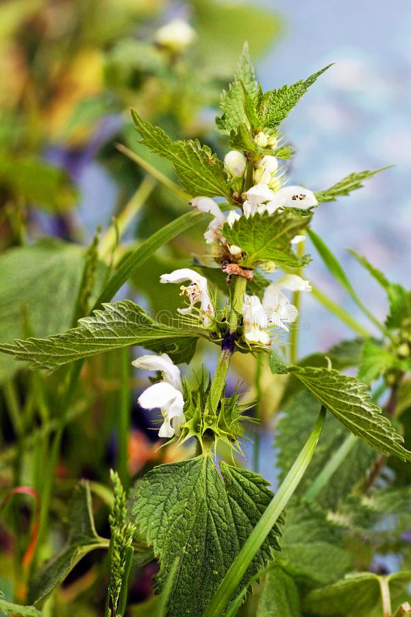 Green nettle Bush with small white flowers. Nettle. Green nettle Bush with small white flowers royalty free stock images