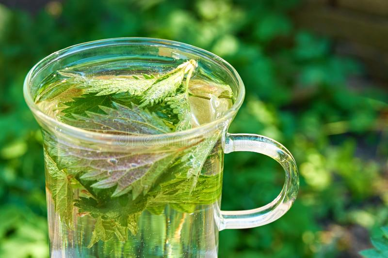 Nettle leaves in a glass of nettle tea. Green nettle leaves in a glass of herbal nettle tea  with copy space. Common or stinging nettle royalty free stock photo