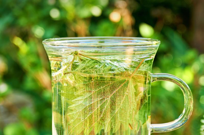 Nettle leaves in a glass of nettle tea. Green nettle leaves in a glass of herbal nettle tea  with copy space. Common or stinging nettle stock images