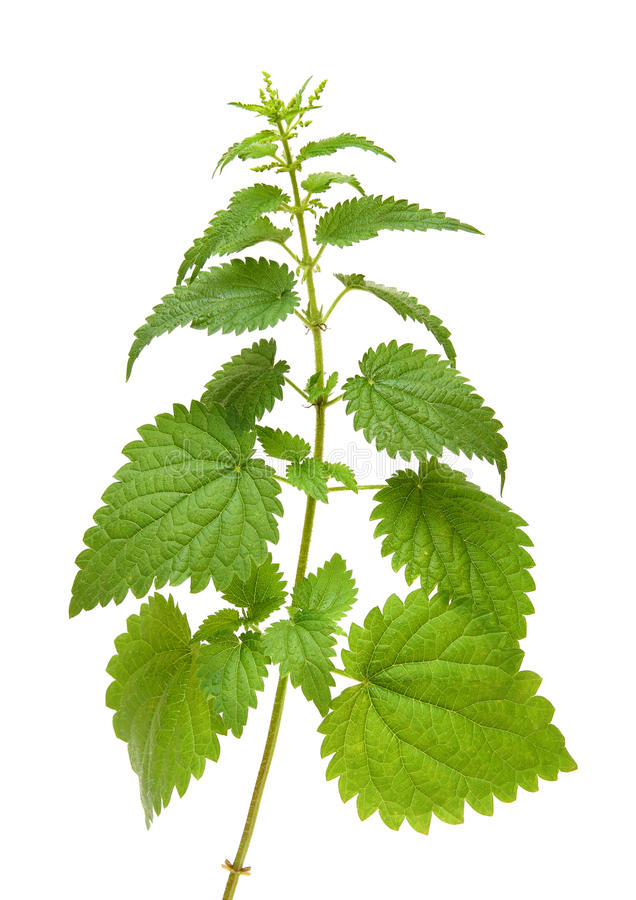 Green nettle plant stock photography