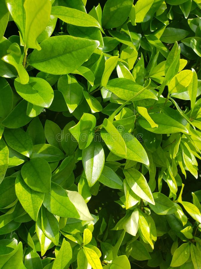 Green new leaf growth with strong side lighting stock photography