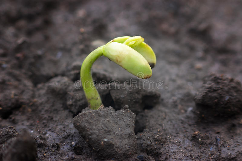 Green newborn sprout royalty free stock image