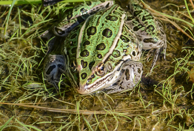 Green Northern Leopard Frog. (Lithobates pipiens, formerly known as Rana pipiens). The state state amphibian of Minnesota and Vermont is spotted and is used for stock photography