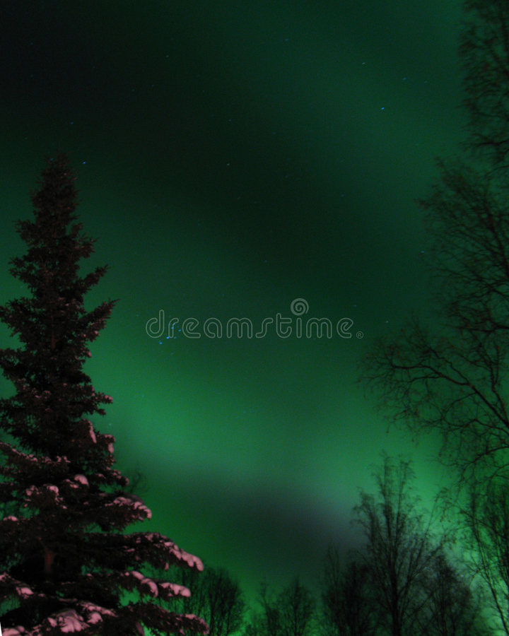 Green Northern Lights in forest in Fairbanks, AK. Northern Lights (Aurora Borealis) in Fairbanks Alaska over a birch and spruce tree forest royalty free stock photo