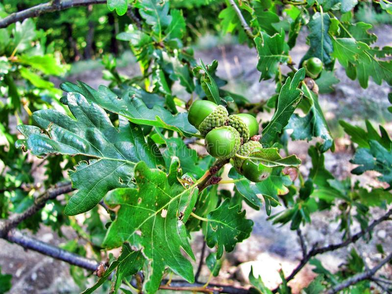 Green nuts on a tree in a valley in Hungary.  royalty free stock image