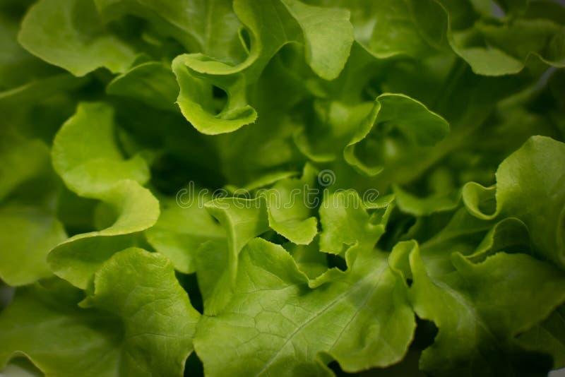 Green oak  in hydroponics farm with dark shadow. The Green oak  in hydroponics farm with dark shadow royalty free stock photos