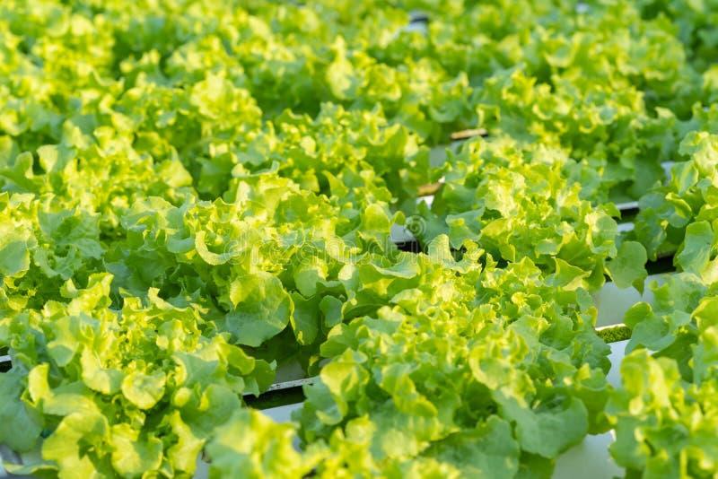 Green Oak hydroponics vegetable stock images