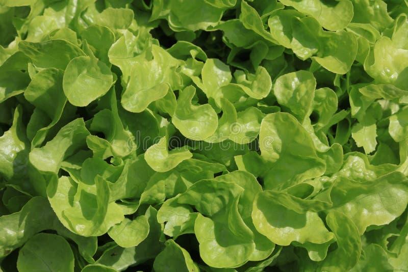 Green Oak Leaf Lettuce on the Field stock photo
