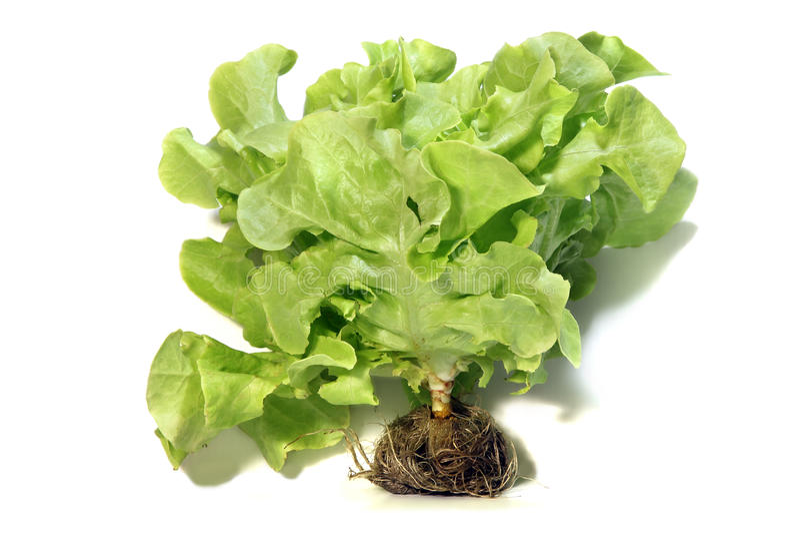 Green oak-leaf, lettuce salad on white background. royalty free stock image