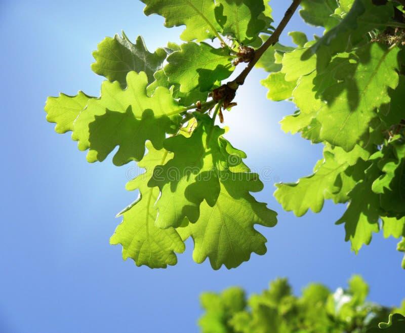 Green oak leaves royalty free stock photos