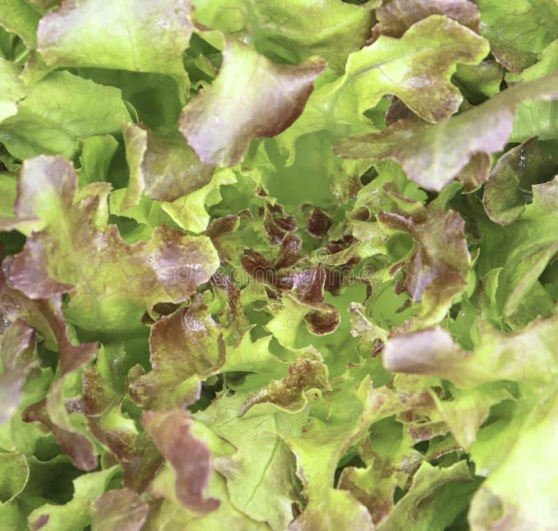Green oak and rea oak lettuce vegetable salad isolate on white background stock images