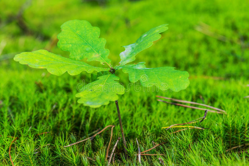 Green oak sprout stock photo