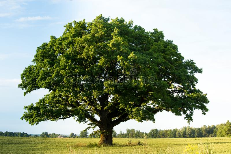 Green oak tree in the field royalty free stock images