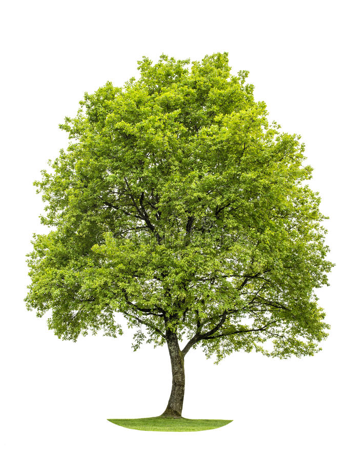 Download Green Oak Tree Isolated On White Background. Nature Object Stock Image - Image: 54802899
