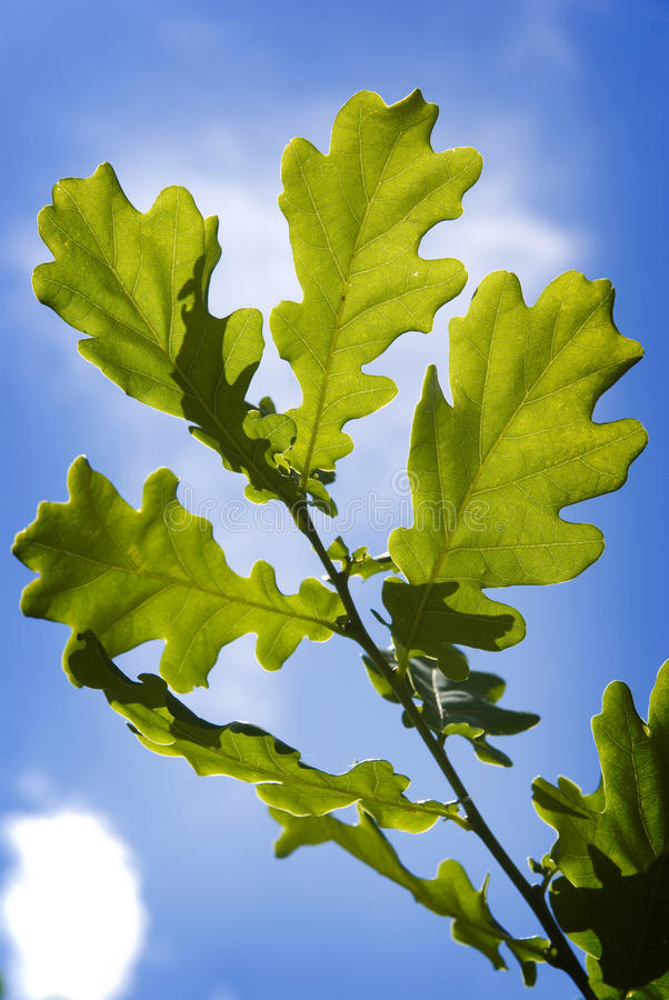 Download Green oak tree leaves stock photo. Image of life, natural - 9711310