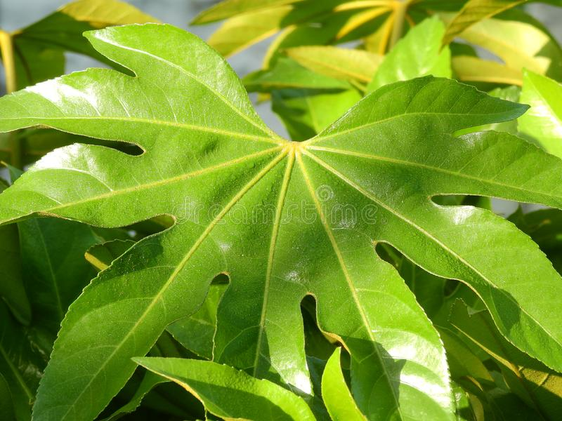 Green Leaves of Octagonal Golden Disk plant. Green octagonal gold plate in sunshine, Asia stock photos