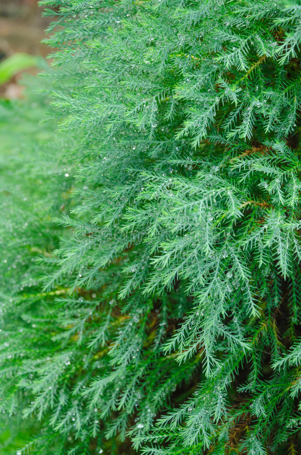 Free Green Of Nolfolk Island Pine Stock Photography - 34512642