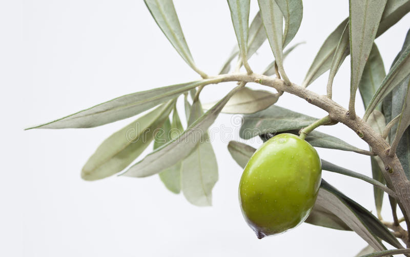 Green olive on branch stock photos