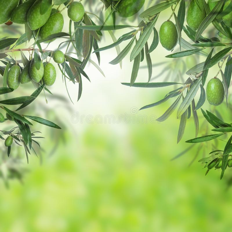 Green olive tree closeup on abstract background. Green olive tree closeup on abstract bokeh background stock photos
