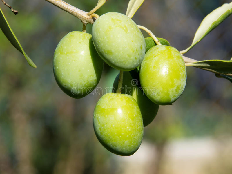 Download Green olives stock image. Image of agriculture, plant - 26812357