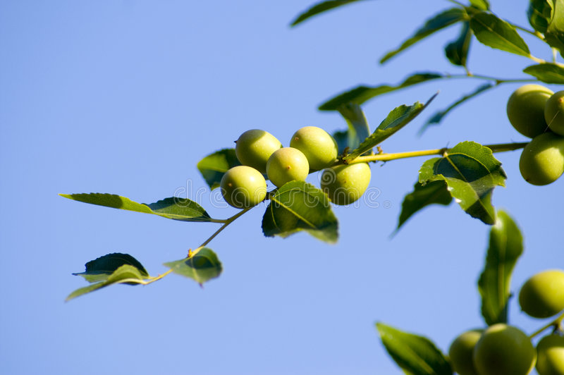 Green Olives Branch. Stock Photo