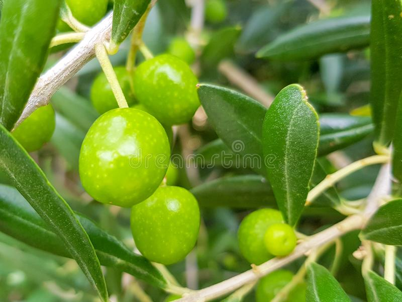 Green olives on the branches before they are harvested for food such as olives or to produce oil stock photography