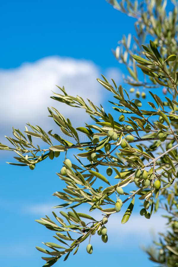 Green olives riping on olive tree close up stock image
