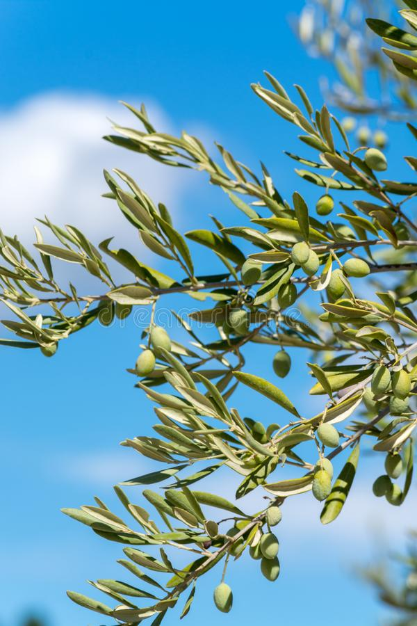 Green olives riping on olive tree close up royalty free stock images