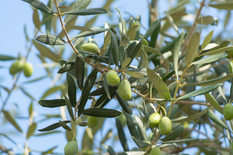 Green olives riping on olive tree close up stock photography