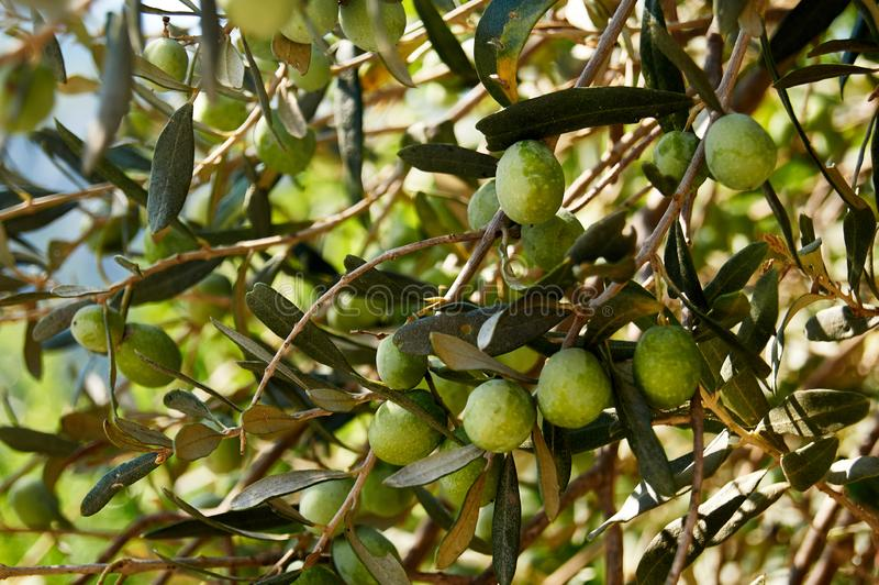 Green olives on tree in its natural environment stock image