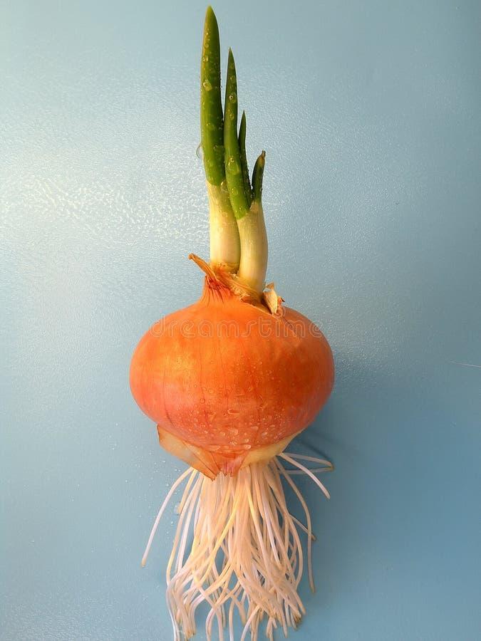 Free Green Onion Royalty Free Stock Photo - 18409865