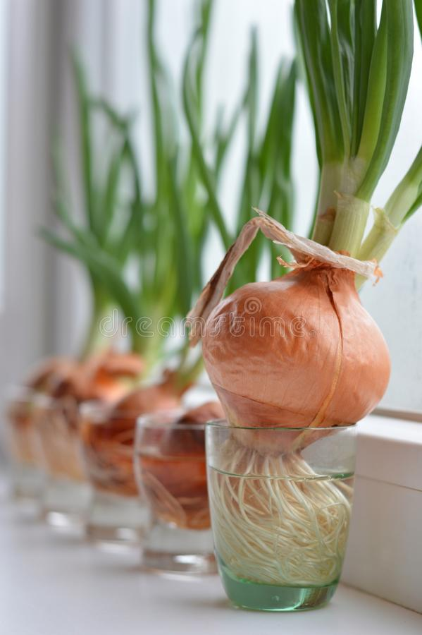 Green onion, bow, glass, husks royalty free stock photography