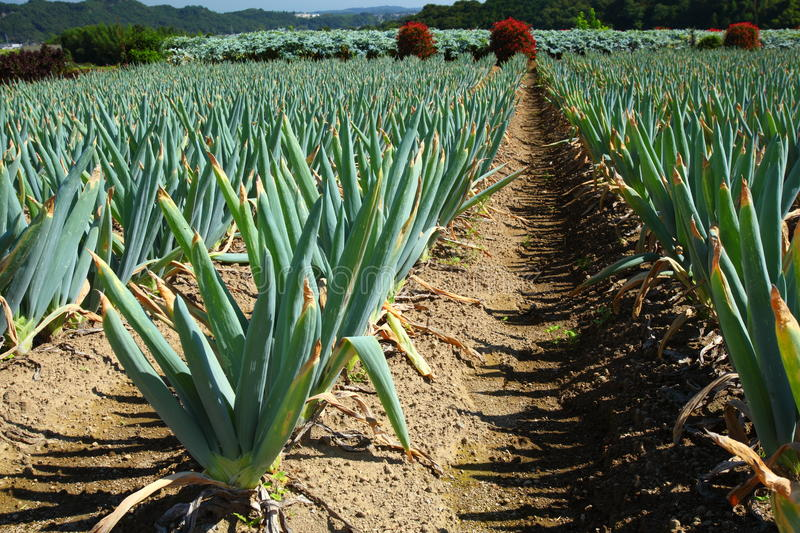 Green onion field royalty free stock images