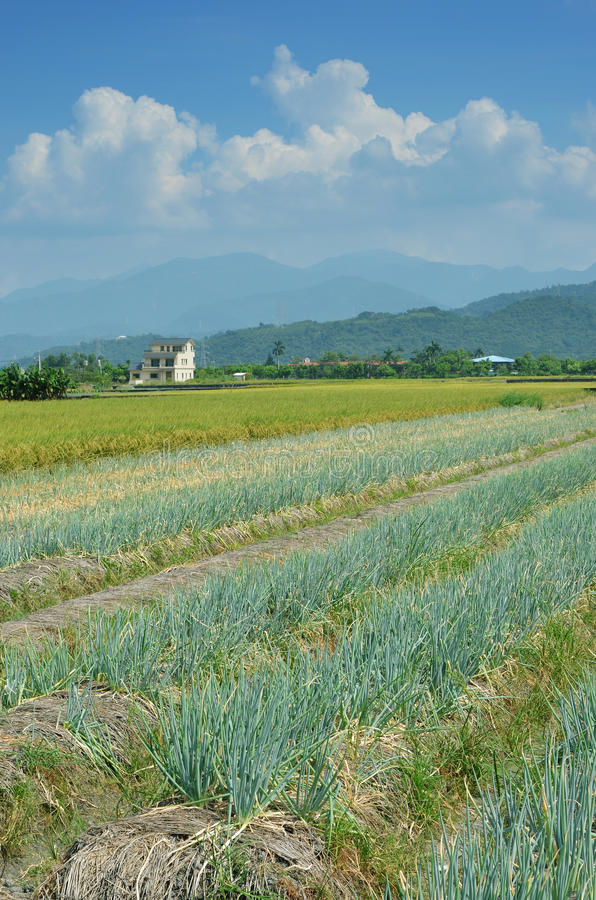 Green onion field stock image