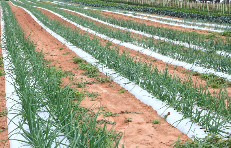 Green Onion Field stock photo