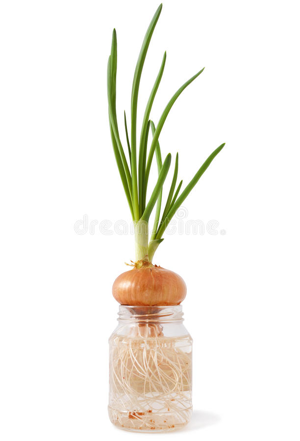 Green onion. Growing in a glass jar with water on a white background royalty free stock images
