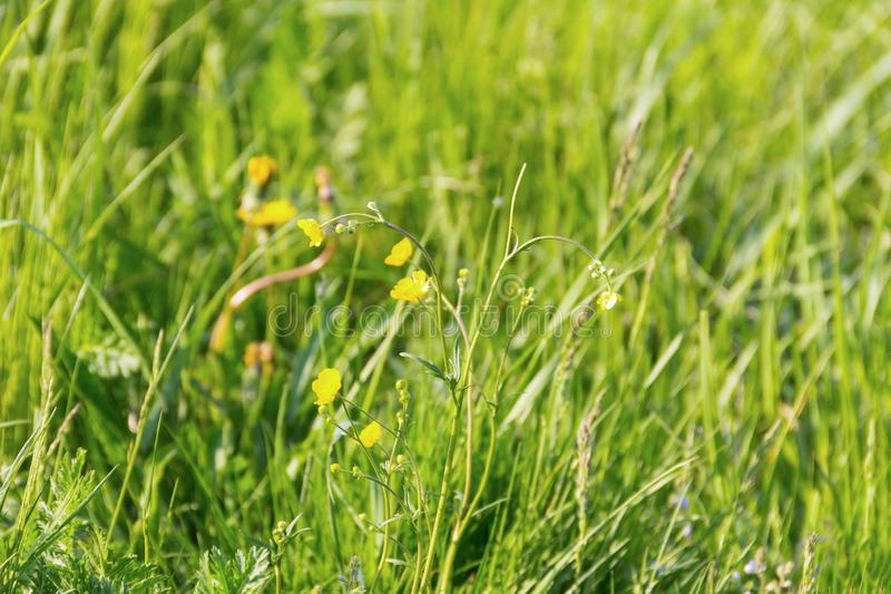 Green onion long grass yellow flowers buttercups summer design background rustic base walk in the field royalty free stock photography