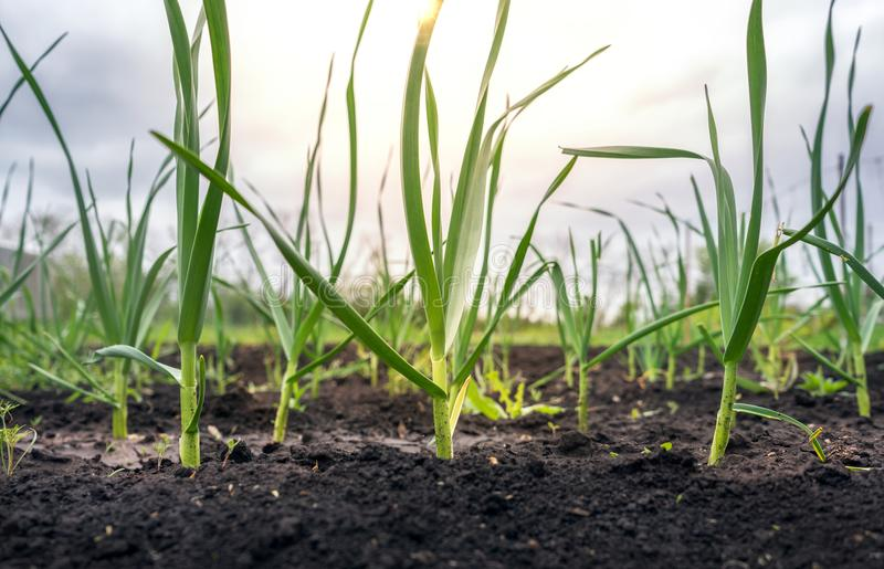 Green onion shoots under the sun royalty free stock image