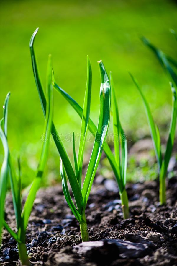 Green onions growing in the garden. Agriculture, background, bed, bunch, chives, closeup, cook, cooking, diet, eating, ecology, farm, field, flora, food, fresh royalty free stock photos