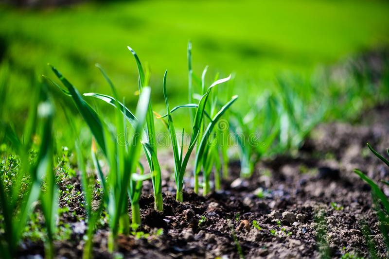 Green onions growing in the garden. Agriculture, background, bed, bunch, chives, closeup, cook, cooking, diet, eating, ecology, farm, field, flora, food, fresh stock photo
