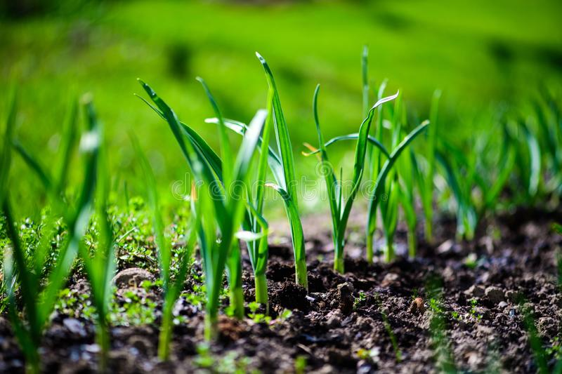 Green onions growing in the garden. Agriculture, background, bed, bunch, chives, closeup, cook, cooking, diet, eating, ecology, farm, field, flora, food, fresh royalty free stock photo