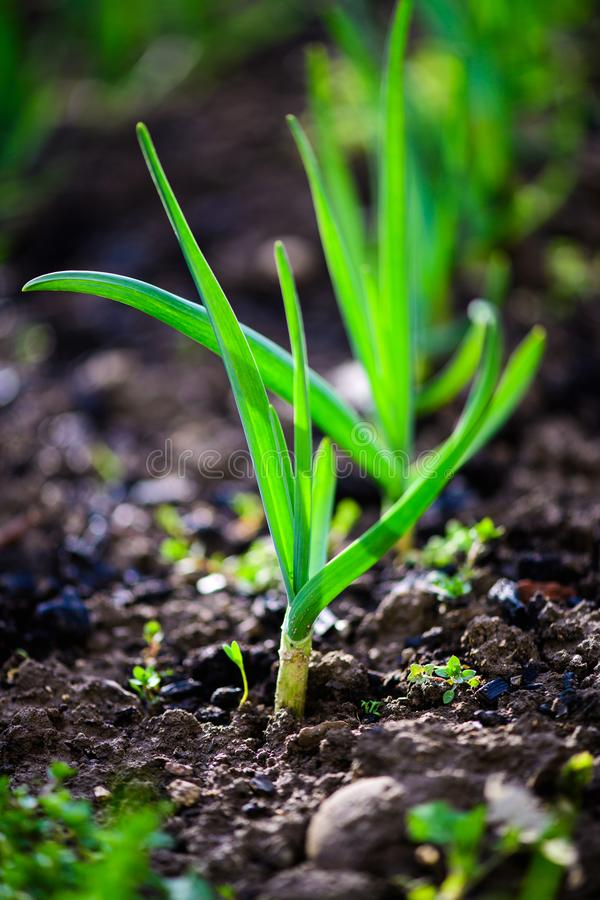 Green onions growing in the garden. Agriculture, background, bed, bunch, chives, closeup, cook, cooking, diet, eating, ecology, farm, field, flora, food, fresh stock photos