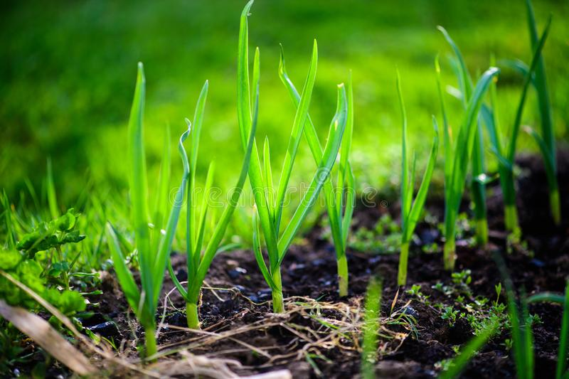 Green onions growing in the garden. Agriculture, background, bed, bunch, chives, closeup, cook, cooking, diet, eating, ecology, farm, field, flora, food, fresh royalty free stock image