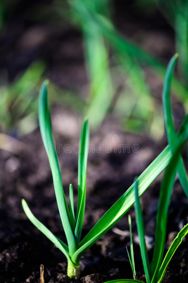 Green onions growing in the garden. Agriculture, background, bed, bunch, chives, closeup, cook, cooking, diet, eating, ecology, farm, field, flora, food, fresh stock photography