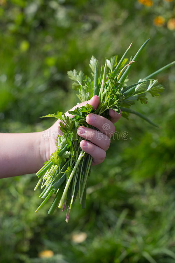 Green onions, parsley, vitamins and proper nutrition royalty free stock photos
