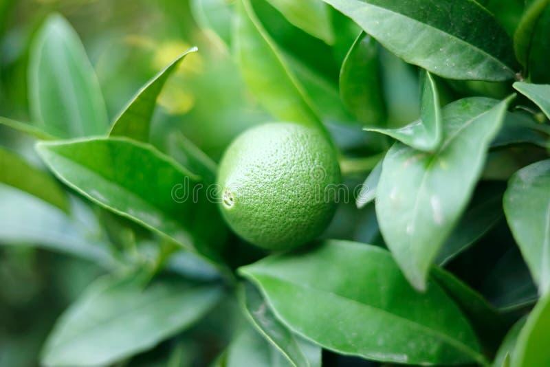Green orange fruit among green leaves, macro stock image