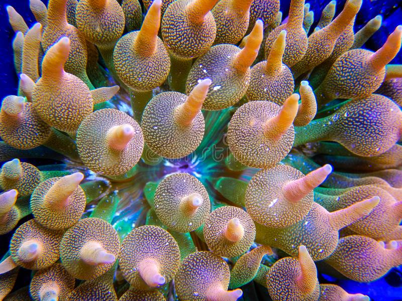 Green, orange and pink anemone tentacles. Detailed view of an extremely colorful bubbletip anemone growing in a captive reef aquarium system stock photos