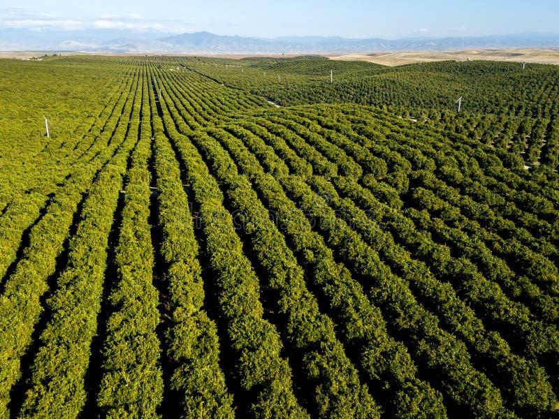 Green Orange Stripes - Orange Grove Rows Point to the Foothills. Orange grove rows point to the southern Sierra Nevada foothills. Richgrove, California, USA stock photos